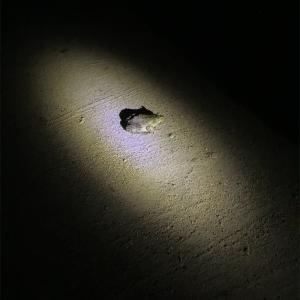 牛蛙を発見