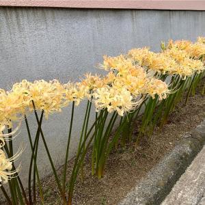 白い彼岸花を見たことがありますか