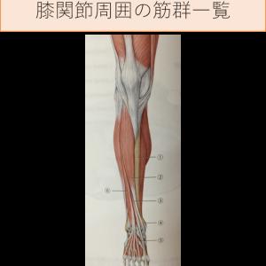 膝の痛みや変形に関連のある膝関節周囲の筋について