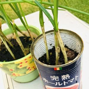 小葱 リサイクル