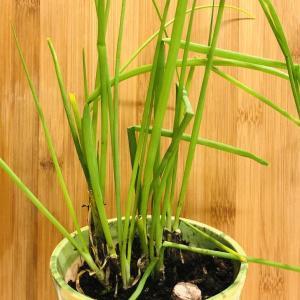 小葱とミツバ 室内へ移動