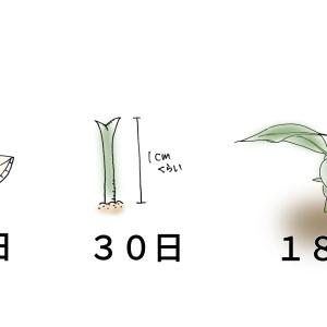 【レモンの防寒】種から育てるレモン。180日目。