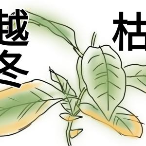 【越冬失敗!?】種から育てるレモン8~9カ月目