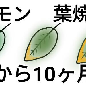 【レモン種から10ヶ月】葉が枯れてきた理由がわかったかも