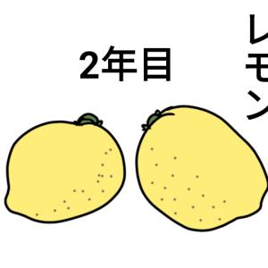 今年もこりずにレモン!!種から育てます!!
