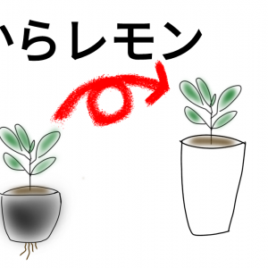 【種から育てるレモン 3ヶ月目】鉢に植替えるタイミングは?