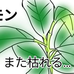 レモンの葉っぱが丸まって元気ない!また枯らせてしまうかも!!原因は『○○』だった!!