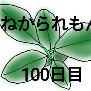 【種から育てるレモン 100日目】昨年のレモンとの比較!!大きい種は葉っぱが大きくなる傾向あり?