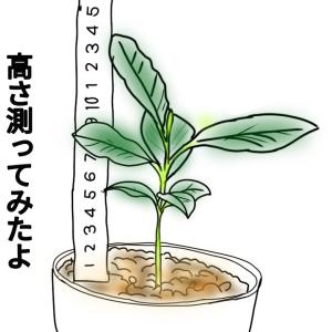 【種からレモン 112日目】レモンの高さを測ってみたよ!!