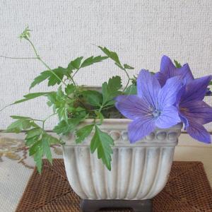 庭の花 桔梗青 風船カズラ
