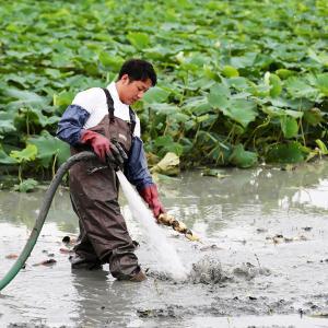 干拓地で美味いレンコンを育てる。