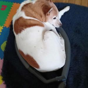 犬の老化現象に悩む。ついに意地悪ばあさんになった犬。