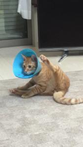 【猫の去勢による変化】これは本当に悩みました。特に術後