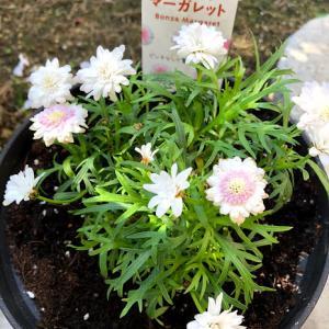 SUNTORY FLOWERS ボンザマーガレットを初めて育てます
