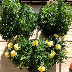 ボンザマーガレット レモンイエローが咲いています