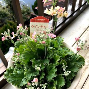 寒い時季でも咲く花たち ボンザマーガレット ウィンティー