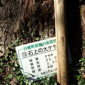 静岡県 島田市 石上の大ケヤキ