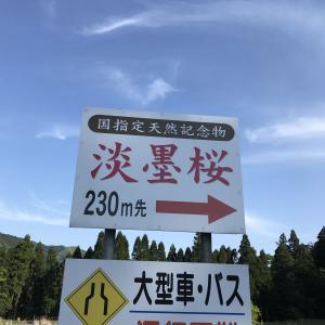 岐阜県 本巣市 淡墨桜(うすずみ)
