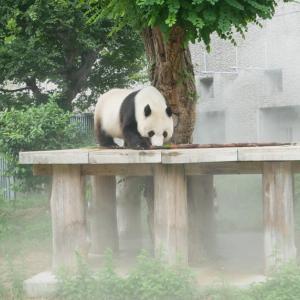 王子動物園の抽選に当選!返還前にパンダ「タンタン」に会ってきました