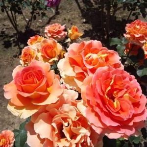 水元公園大好き!美しいバラの花々♡