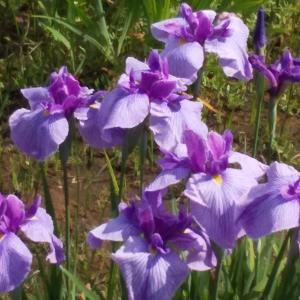 水元公園大好き!今日6/9の紫陽花と菖蒲