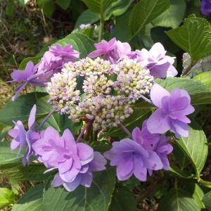 水元公園大好き!日曜日6/13の紫陽花と菖蒲