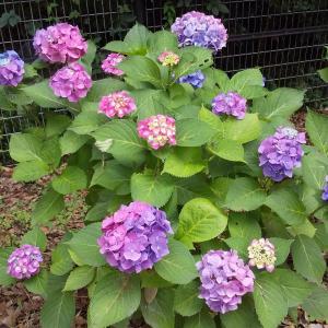 水元公園大好き!今日6/18の紫陽花と菖蒲