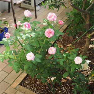 バラを植えたら。