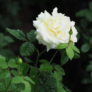 低温でバラの花持ちが良い