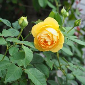 秋の花が美しい『グラハム・トーマス』(デビッド・オースチン)