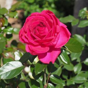 秋めくレジス・マルコンと、冬の花壇へ植え替え
