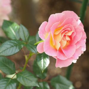 庭のバラ達に励まされた10月を振り返る