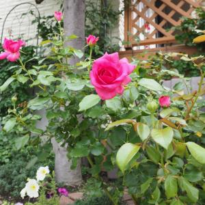 レジスマルコン、グラハムトーマス、マルクシャガールの二番花