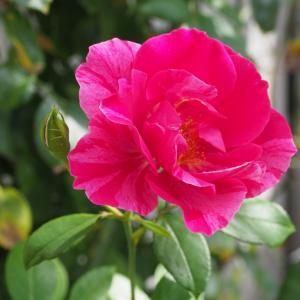 秋涼の花シリーズ⑧ギーサヴォア