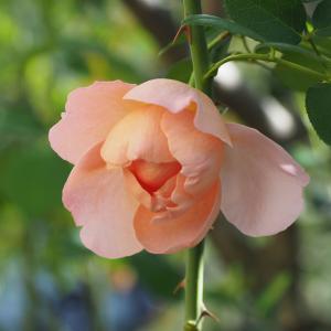 秋涼の花シリーズ⑦ダム・ドゥ・シュノンソー