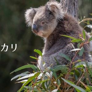 【アロマ・精油事典】ユーカリ・グロブルス