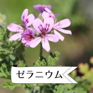 【アロマ・精油事典】ゼラニウム