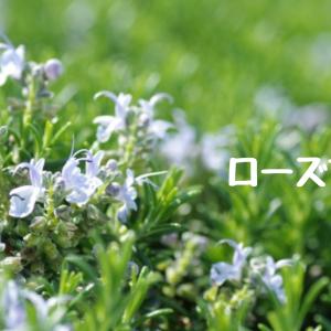 【アロマ・精油事典】ローズマリー