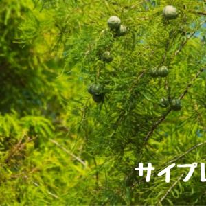 【アロマ・精油事典】サイプレス