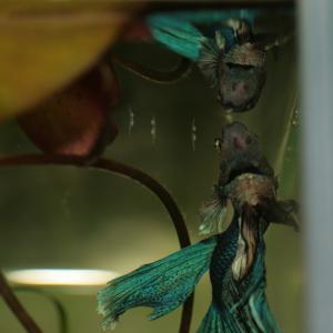 ベタの繁殖(2020/09/26)孵化中