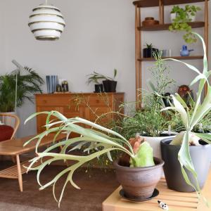 スターネットの鉢と鈴木環さんの小さな牛◇コウモリランの植え替えをしました