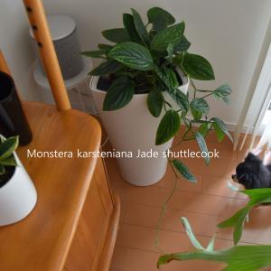 インテリアにおすすめグリーン◇育てやすく増やしやすい植物【モンステラ・ジェイドシャトルコックとレチューザ】