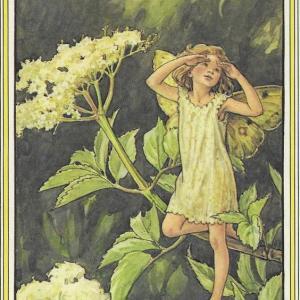 魔法の植物「エルダー・フラワー」