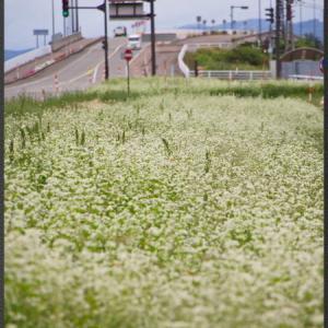 蕎麦の花が見頃