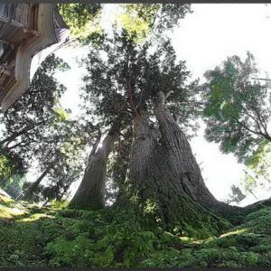 荻ノ島の二本杉