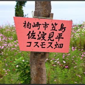 佐渡見平 コスモス畑