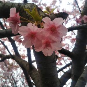 今年も海老川の桜を追い掛けます。