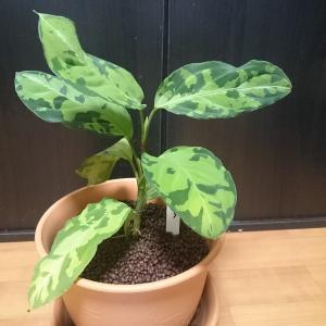カッコいい観葉植物:アグラオネマ