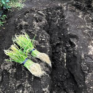 【週末畑作業】ネギはすくすく成長中