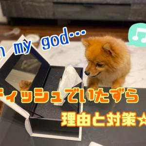 犬がティッシュを食べる理由と対処法を解説☆
